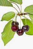 Зрелые вишни плодоовощ на белом конце предпосылки вверх Стоковые Изображения