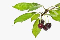 Зрелые вишни плодоовощ на белом конце предпосылки вверх Стоковые Изображения RF