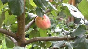 Зрелые виды яблока на дереве акции видеоматериалы