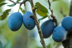 Зрелые голубые сливы в саде Стоковые Фото
