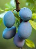Зрелые голубые сливы в саде Стоковое Изображение