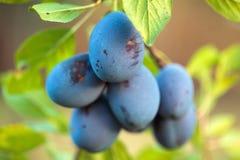 Зрелые голубые сливы в саде Стоковые Изображения