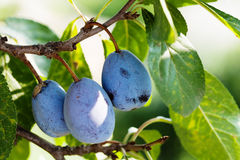 Зрелые голубые фиолетовые сливы, ветвь дерева с органическими плодоовощами взгляд макроса, малая глубина поля Стоковое Изображение