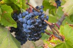 Зрелые группы синих виноградин. Стоковая Фотография RF