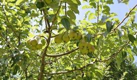 Зрелые груши на ветви грушевого дерев дерева Стоковая Фотография RF