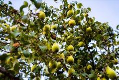 Зрелые груши на ветви дерева Стоковое фото RF