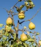 Зрелые груши на ветви Стоковое Фото