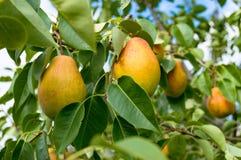 Зрелые груши на дереве в саде Стоковая Фотография