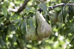 Зрелые груши на дереве Стоковая Фотография RF