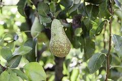 Зрелые груши на дереве Стоковое Фото