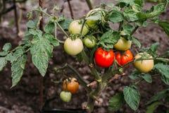 Зрелые естественные томаты растя на ветви поле глубины отмелое Стоковое фото RF