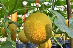 Зрелые желтые дыни в саде парника Стоковые Изображения RF
