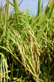 Зрелые зерна риса в Азии перед сбором Стоковая Фотография
