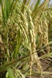 Зрелые зерна риса в Азии перед сбором Стоковое Изображение RF