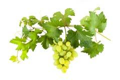 Зеленые виноградины на ветви Стоковое Изображение RF