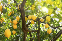 Зрелые лимоны на дереве стоковое изображение