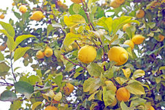Зрелые лимоны на дереве Стоковые Фото