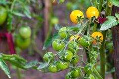 Зрелые и зеленые томаты в огороде Стоковая Фотография