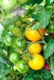 Зрелые и зеленые томаты в огороде Стоковое Изображение RF