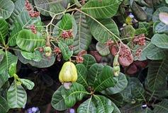 Зрелые и незрелые гайки анакардии в дереве Стоковая Фотография RF