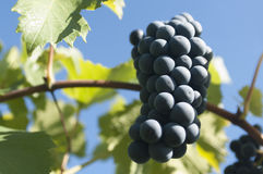 Зрелые красные виноградины на лозе Стоковое Фото