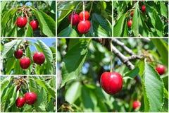 Зрелые красные вишни на ветви; коллаж фруктового дерев дерева вишни; Стоковые Фото