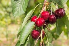 Зрелые красные вишни на вишневом дереве Стоковая Фотография