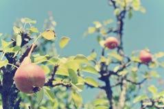 Зрелые красные груши на дереве в саде; ретро стиль Instagram Стоковое Изображение