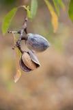 Зрелые миндалины на ветви дерева Стоковые Изображения RF