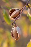 Зрелые миндалины на ветви дерева Стоковое Изображение