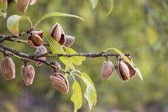 Зрелые миндалины на ветвях дерева Стоковая Фотография