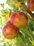 Зрелые нектарины на дереве Стоковые Фото