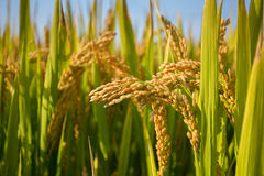 Зрелые неочищенные рисы Стоковое фото RF