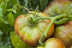 Зрелые органические томаты Heirloom в саде стоковое изображение
