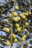 Зрелые оливки на ветви оливкового дерева Стоковая Фотография
