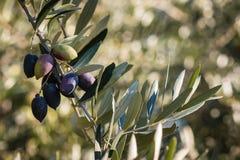 Зрелые оливки Kalamata на ветви оливкового дерева Стоковая Фотография RF