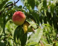 Зрелые персики вися на ветви с зелеными листьями Стоковые Изображения