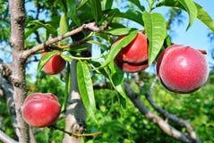 Зрелые персики вися от ветви Стоковое Фото