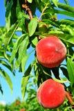 Зрелые персики вися от ветви Стоковая Фотография