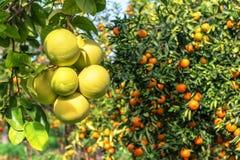 Зрелые помело и мандарины Стоковые Изображения
