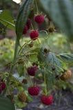Зрелые поленики растут в саде Стоковое Изображение