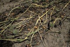 Зрелые поля лука Стоковая Фотография