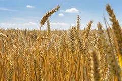 Зрелые пшеничные поля в конце лета в морской провинции Стоковое Фото
