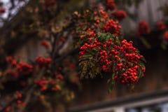 Зрелые смородины на ветви Стоковая Фотография
