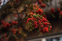 Зрелые смородины на ветви Стоковые Фото