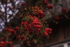 Зрелые смородины на ветви Стоковые Фотографии RF