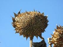 зрелые солнцецветы стоковые фото