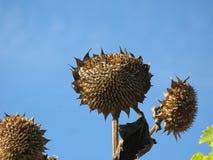 зрелые солнцецветы стоковые изображения rf