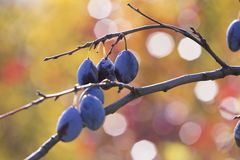 Зрелые сливы вися от дерева Стоковые Изображения RF