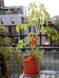Зрелые томаты и зеленое растение в террасе Стоковые Изображения